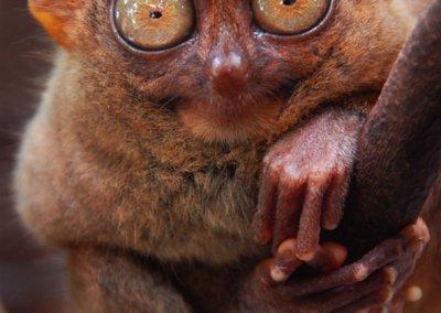التارسير حيوان بماليزيا ينتحر لو أزعجته (4)