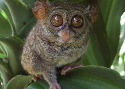 التارسير حيوان بماليزيا ينتحر لو أزعجته (5)