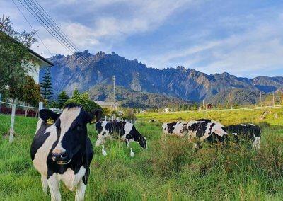 هل سبق لك تجربة منتجات Desa Dairy (7)